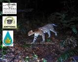 Ocelote_Leopardus_pardalis